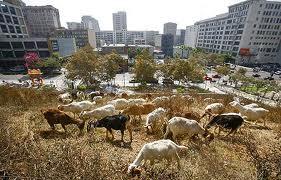 Goats are cheaper