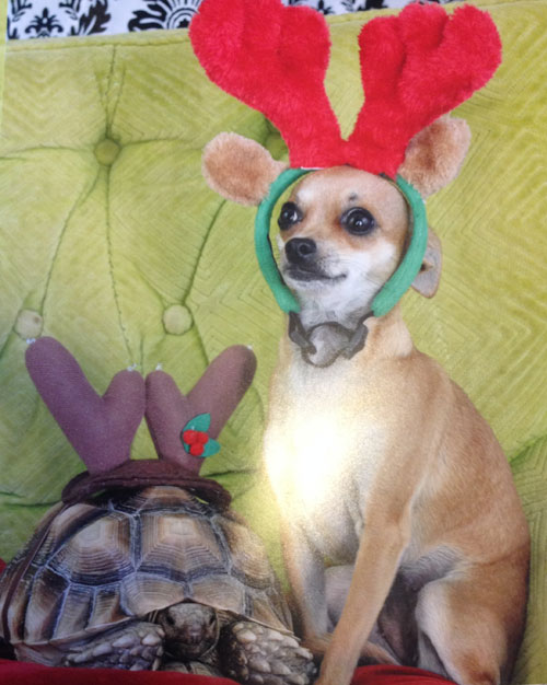 Tortoise and Chihuahua