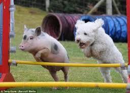 Agility Pig