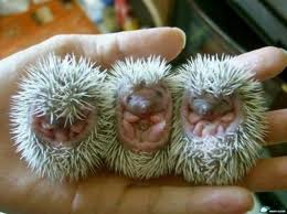 Baby Porcupines