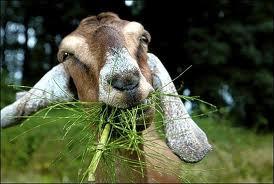 Goats as Pets