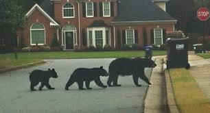 Bears in the hood
