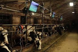 Cows Watching TV