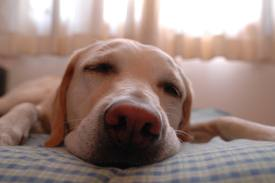 Canine REM Sleep Disorder