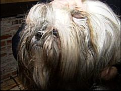 Groomer Cut Dogs Ear Off