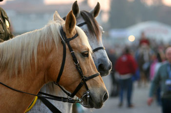 Horses Getting Pink Slip