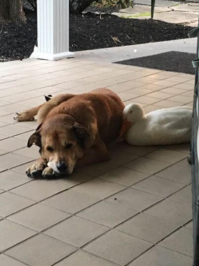 Duck befriends Dog