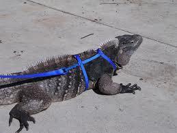 Service Iguana