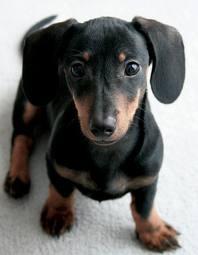 Leptospirosis Dog