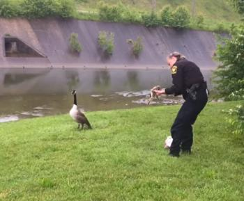 Cops save goslings