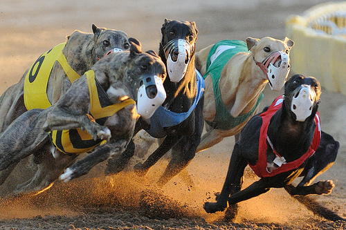 Racing Greyhound Pumped With Cocaine