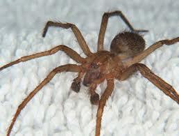 Spider Viagra