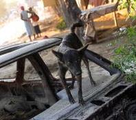 Dogs in Haiti