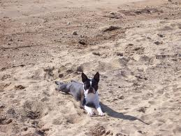 Boston Terrier at beach