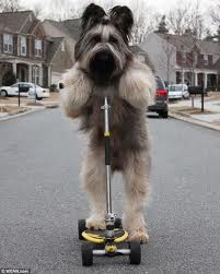 Norman the scooter riding dog
