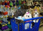 Shih Tzus in shopping cart