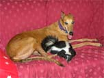 Skunk curled up on couch with dog