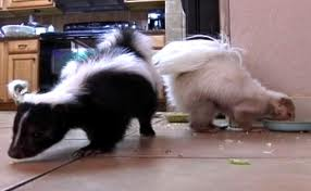Don and Brenda Hoch's Skunks