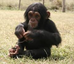 Chimps as Pets