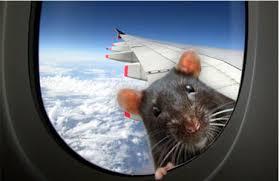 Stewardess Smuggles Rats
