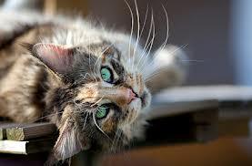Shedding Cat