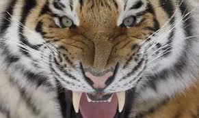 Tiger in the bathroom