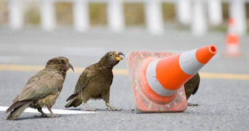 Parrots change traffic pattern