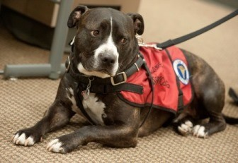Pit bull service dogs being banned on Delta
