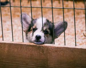 Puppy Laundering Scheme