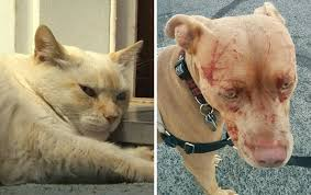 Baby and Injured Pit Bull