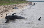 Beached Whales in Florida
