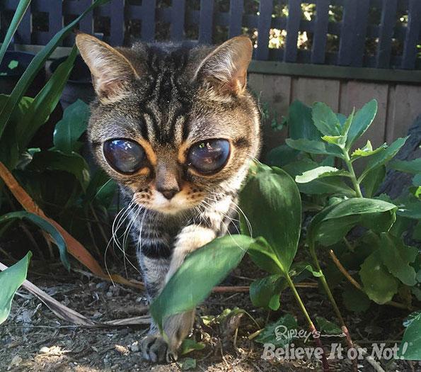 Ripleys Big Eye Cat on Animal Radio