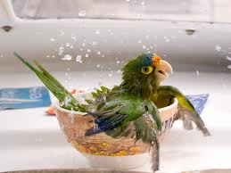 Bird bathing in cup.666