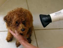Blow drying dog