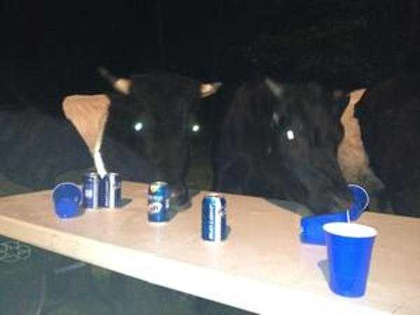 Cows and Beer