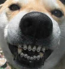 Dog Wearing Braces
