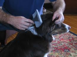 Brushing dog's coat