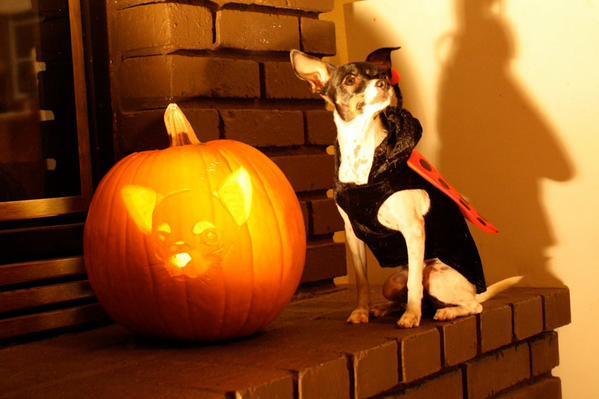 Download this free Chihuahua Pumpkin Stencil