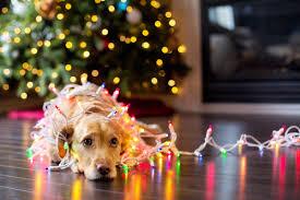 Dog Wearing Christmas Lights