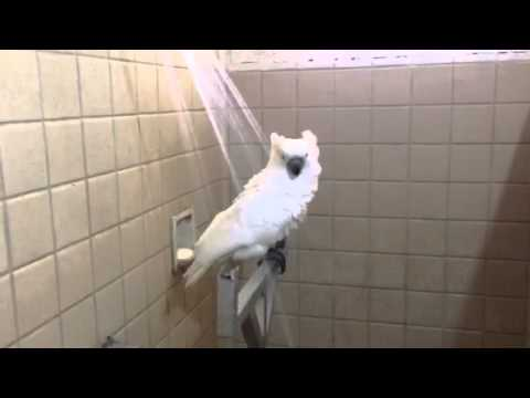 Cockatoo in Shower