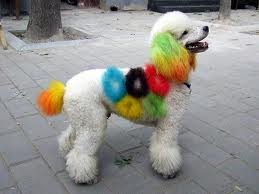 Colored Poodle
