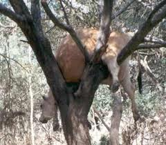 Cow stuck in tree.668