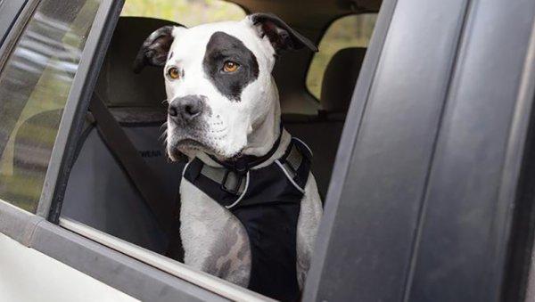 Dog Wearing Seatbelt