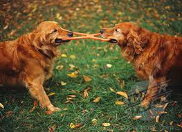 Dogs Playing Tug of War