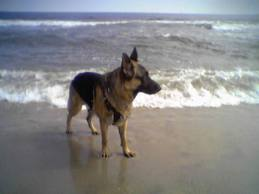 German Shepherd at beach