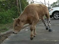 Prosthetic legs on cow