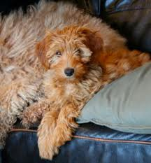 Labradoodle on bed