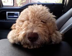 Labradoodle in truck