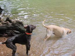 Dogs Swimming in Lake