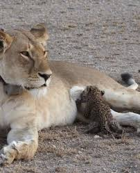 Lion with Baby Leopard